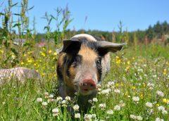 Świnia zwinęła z kampera 18 piw, upiła się i pobiła z krową